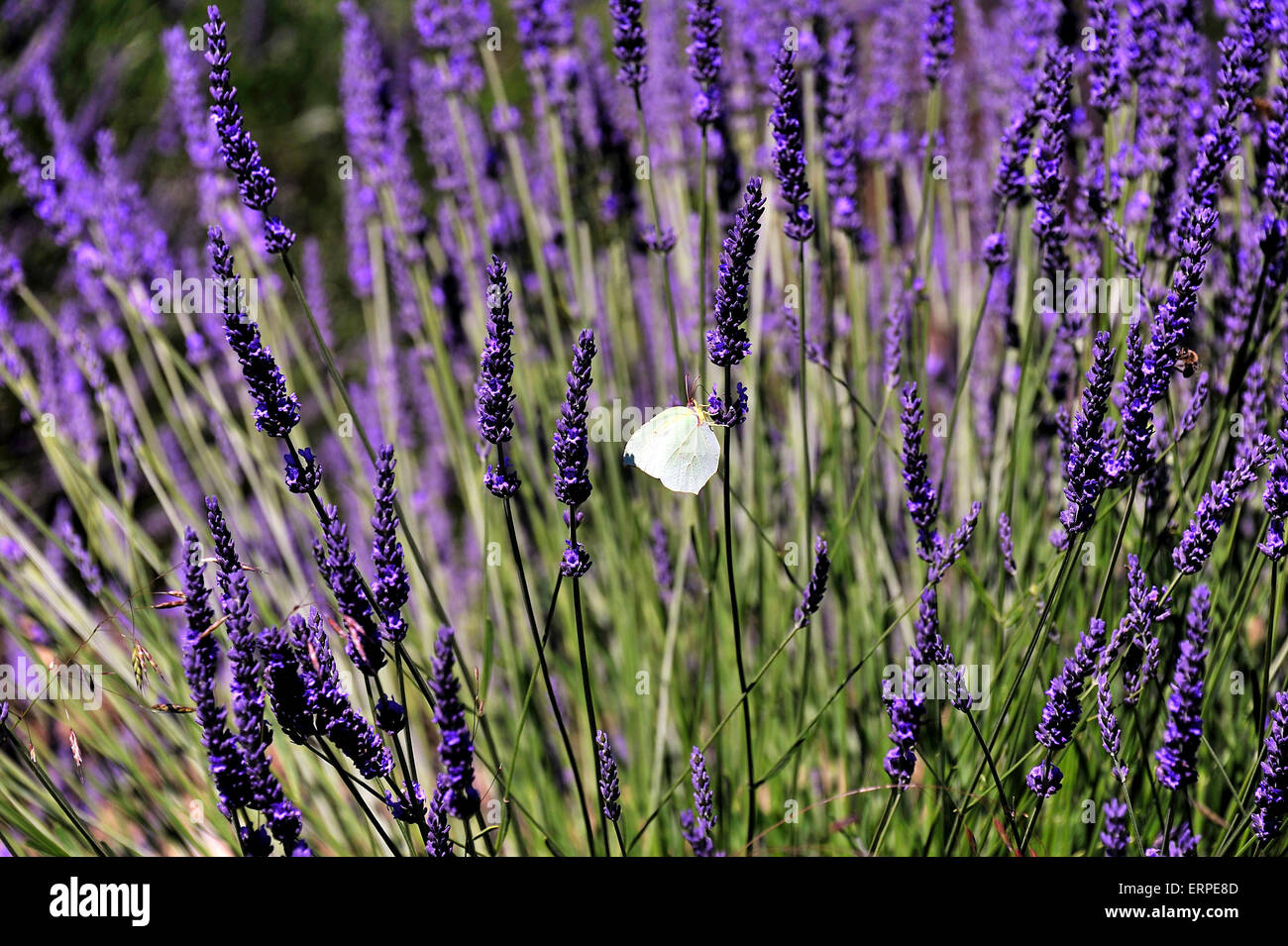 The flavour of Lavender attracts butterflies, Provence - Stock Image