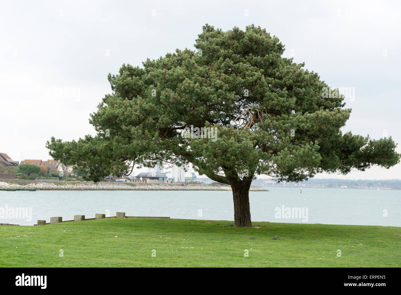 Lone tree on grass area on the waterfront at hythe in hampshire. - Stock Image