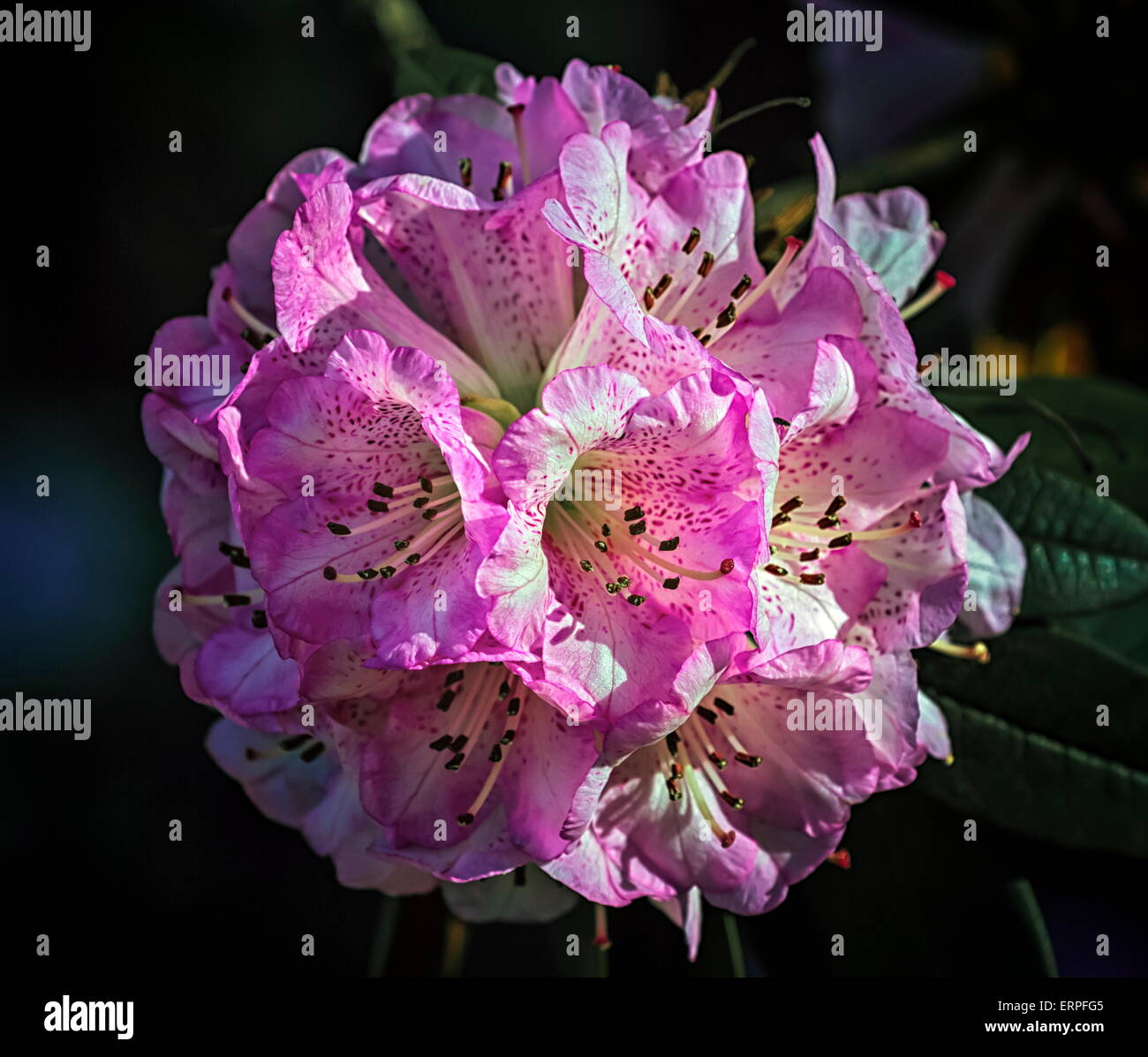 Close up on rhododendron arboreum tree, burans or gurans flower - Stock Image