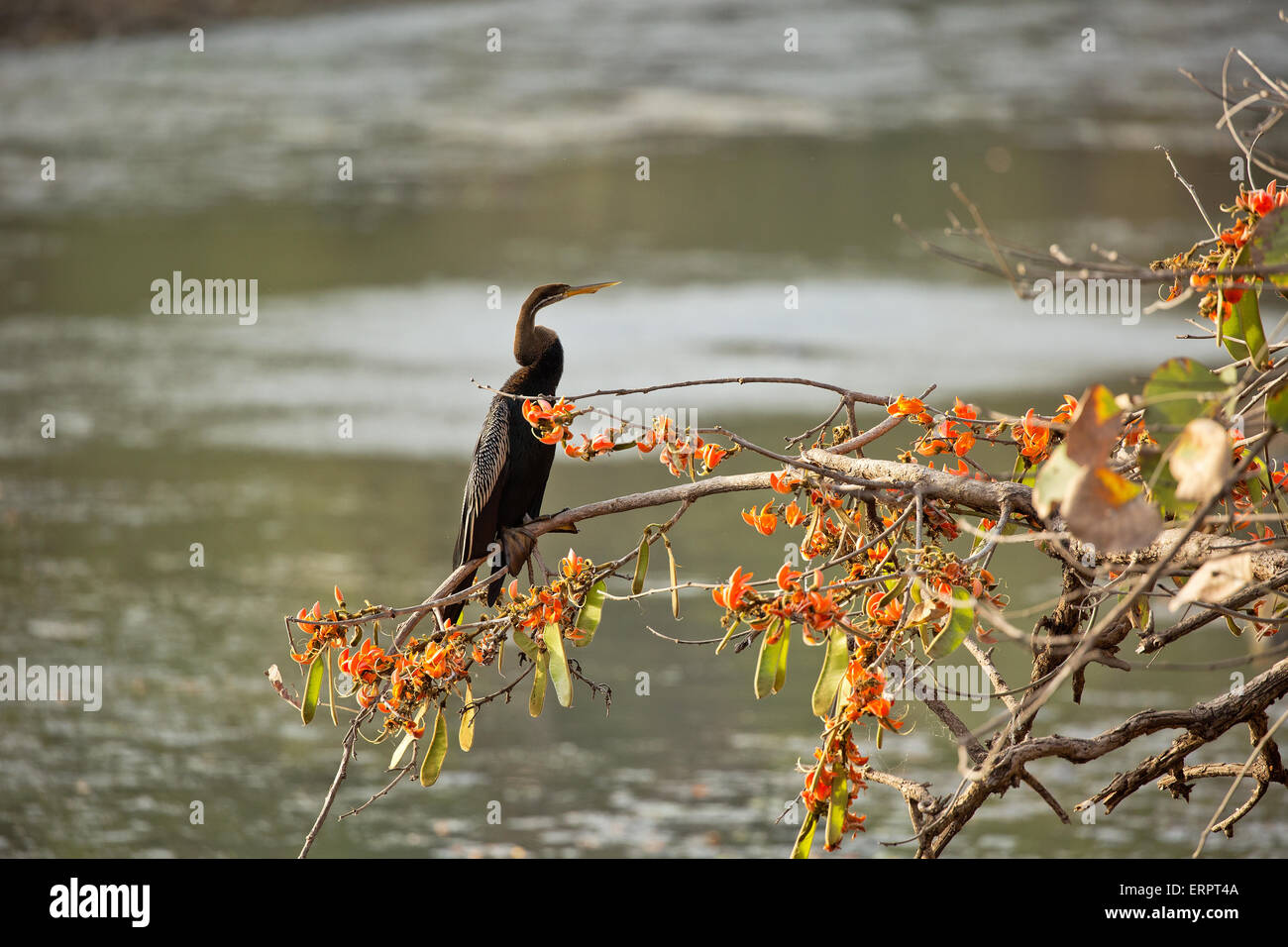A snake bird sitting on flame of the forest - Stock Image