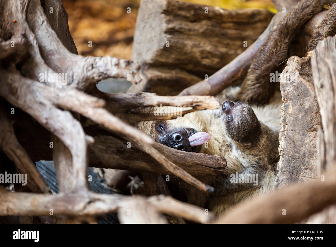 ZSL London Zoo, London, 6th June 2015.The new two-toed sloth baby, a few days old and as yet unnamed, clings to - Stock Image