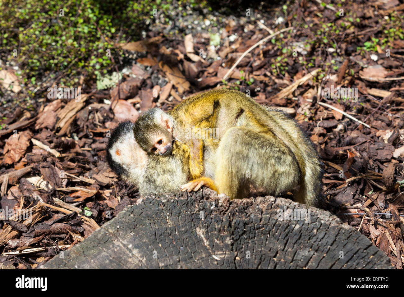 ZSL London Zoo, London, 6th June 2015. One of two new baby black-capped squirrel monkeys makes one of its first - Stock Image