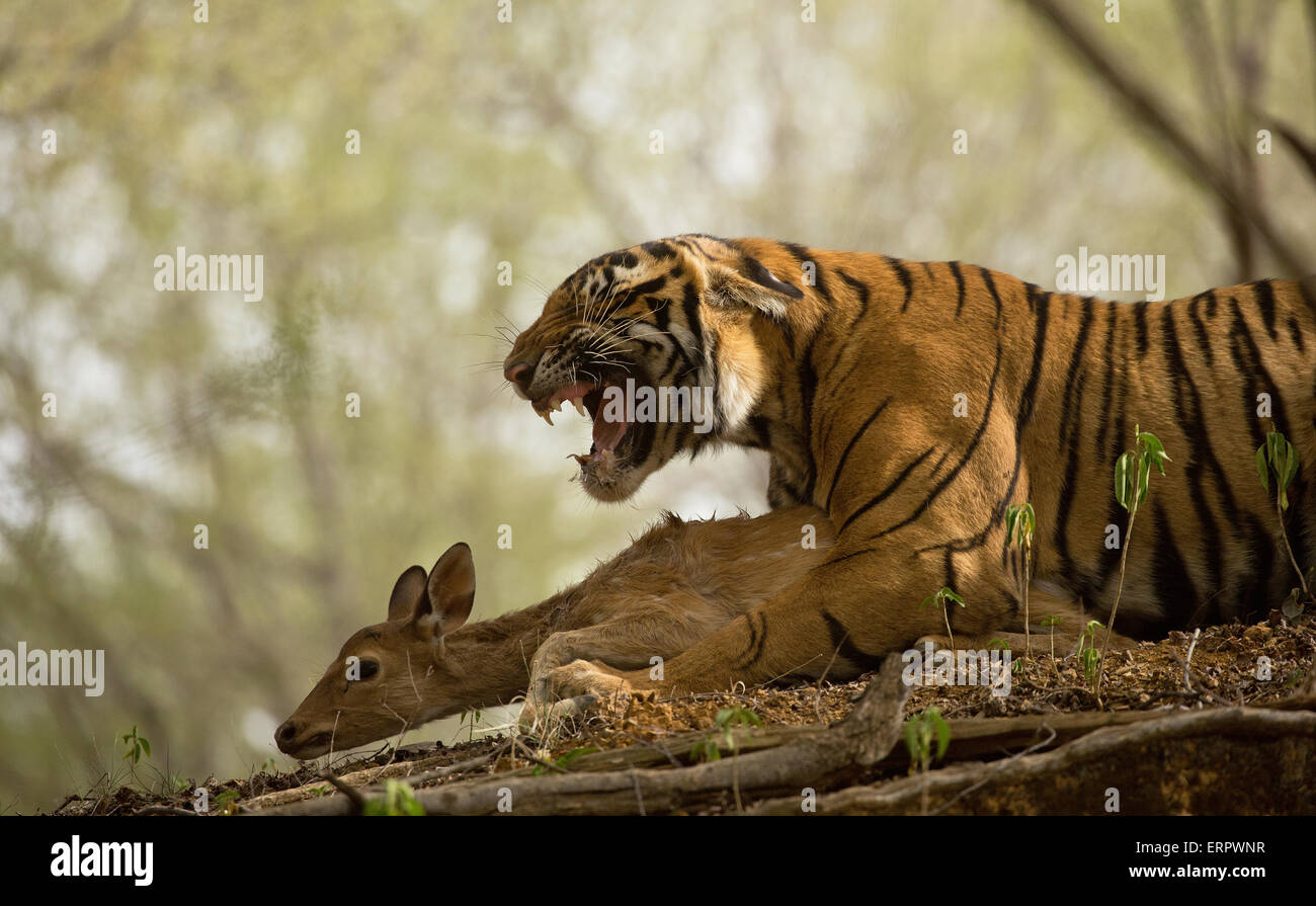 A tiger snarls once it has caught a spotted deer as its food - Stock Image