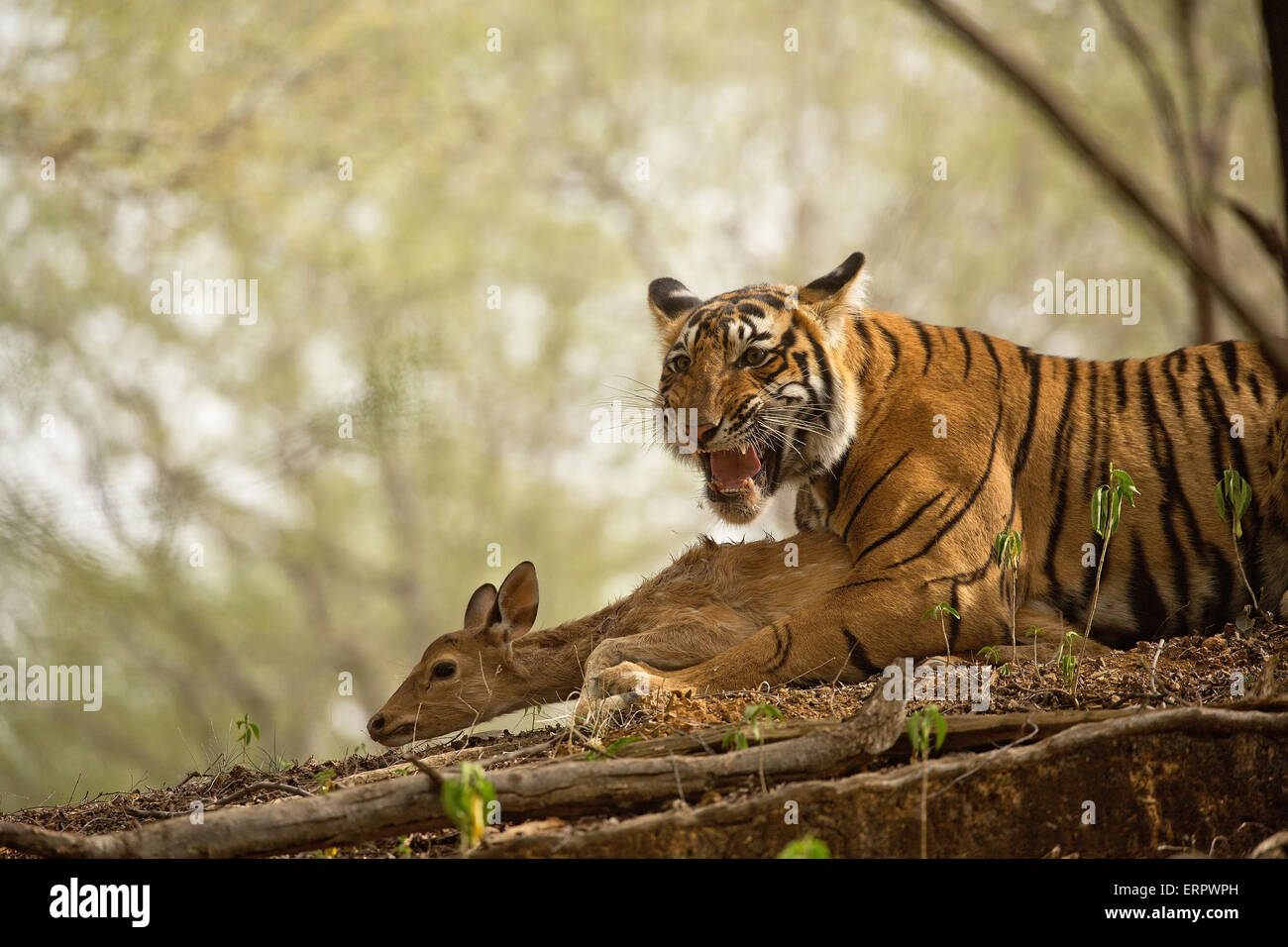 A tiger snarls after making its kill - Stock Image