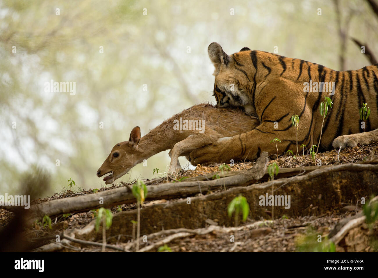 A tiger bites its prey while the deer is trying to escape from death Stock Photo