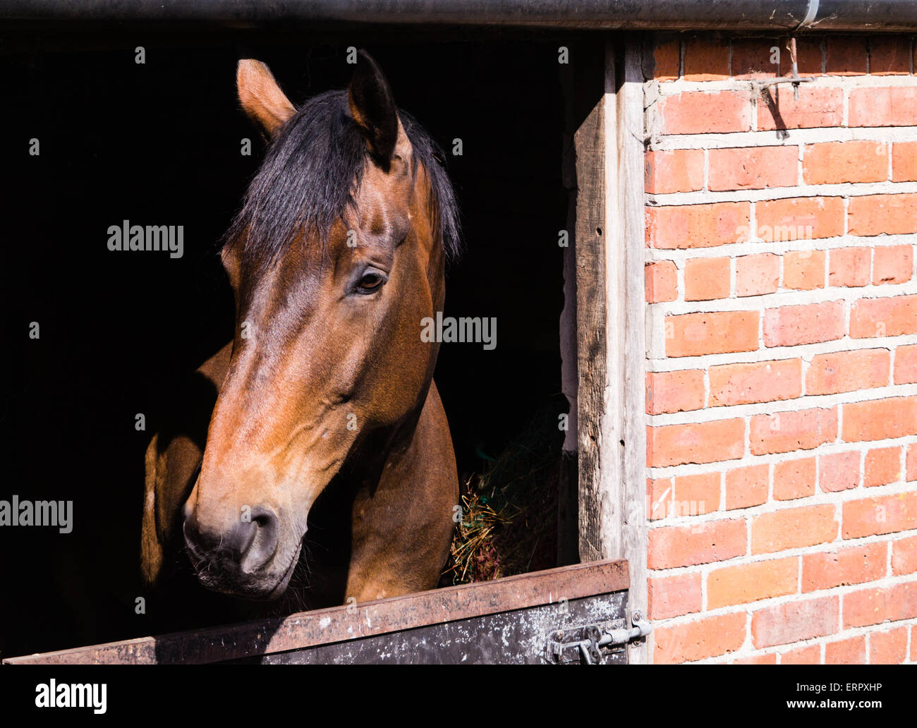 Close up of bay horse in brick-built stable. Riding school, Bleach Farm, Stamford Bridge, North Yorkshire, England, - Stock Image