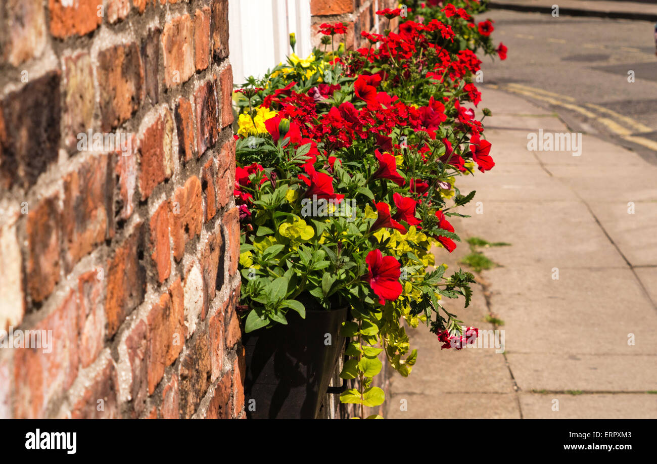 Street scene. Colourful red and yellow flowers in a window box in York. - Stock Image