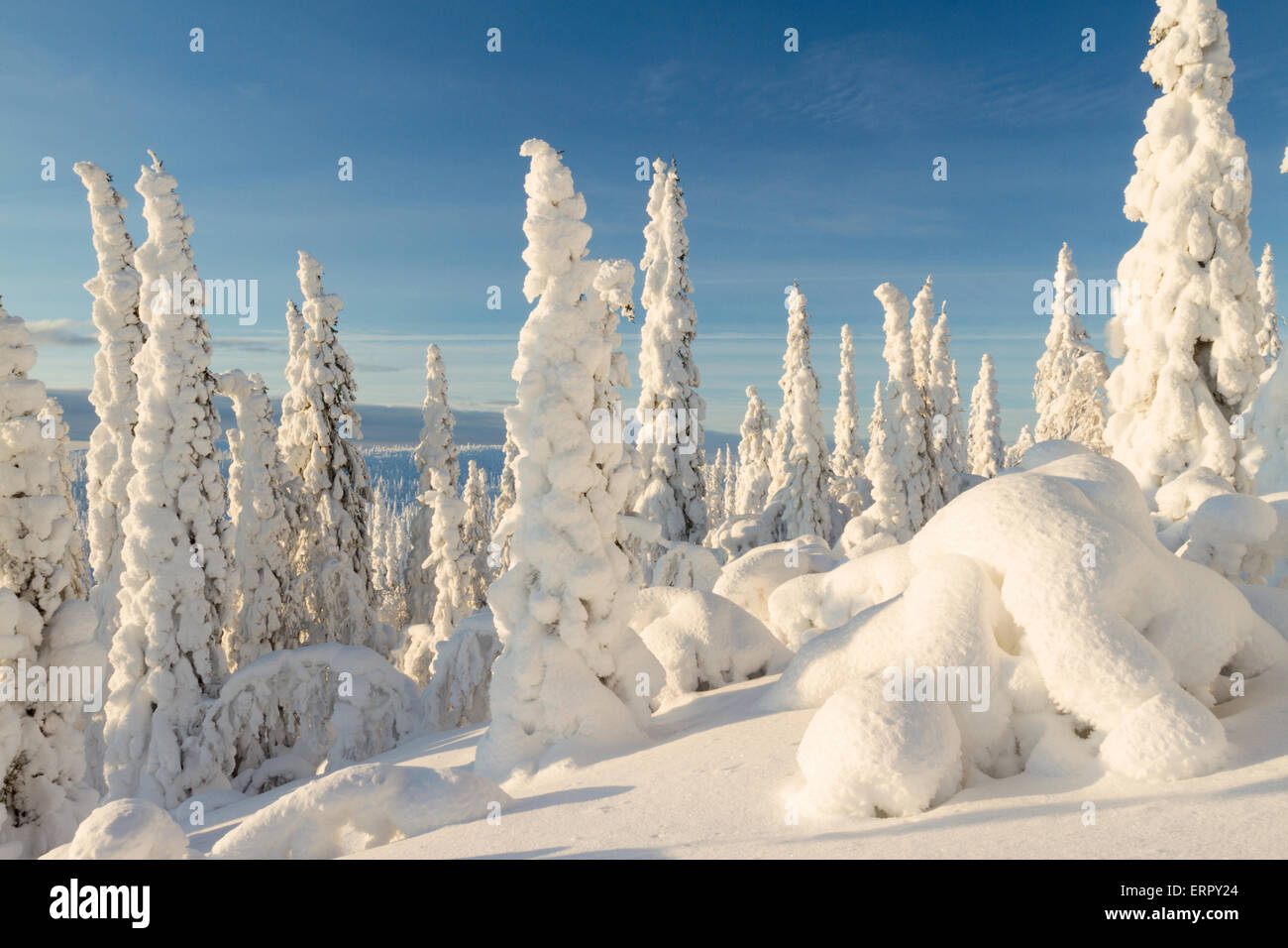Sunny winter landscape with snowy spruce in Gällivare in Swedish lapland - Stock Image