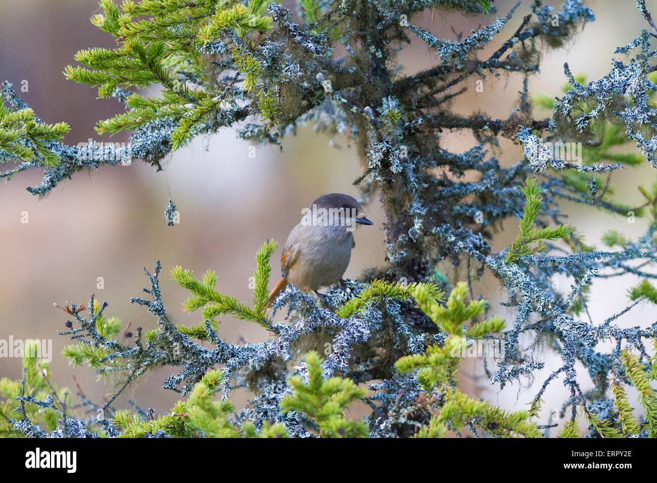 Siberian jay sitting in a spruce in swedish lapland - Stock Image