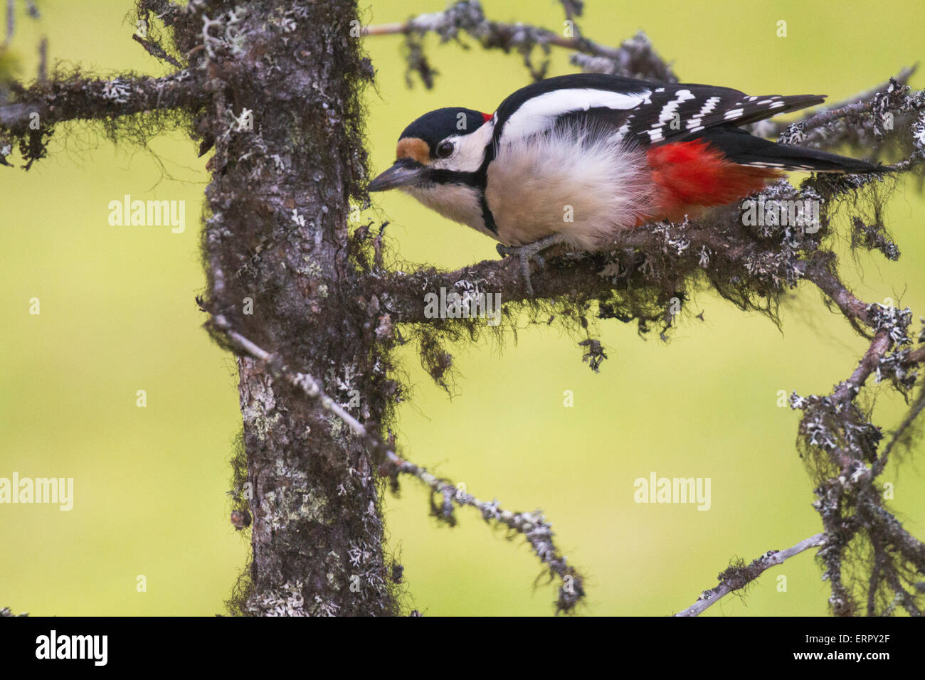 Great spotted woodpecker, Dendrocopos major, sitting in a spruce in Niilivara, Swedish lapland - Stock Image