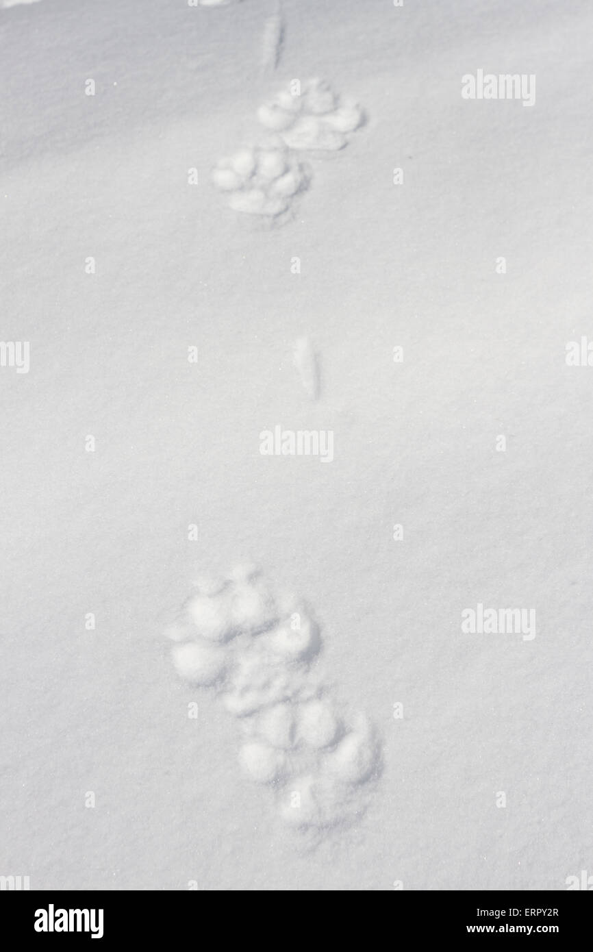 Grey wolf, Canis lupus tracks in snow in Kuhmo, Finland - Stock Image