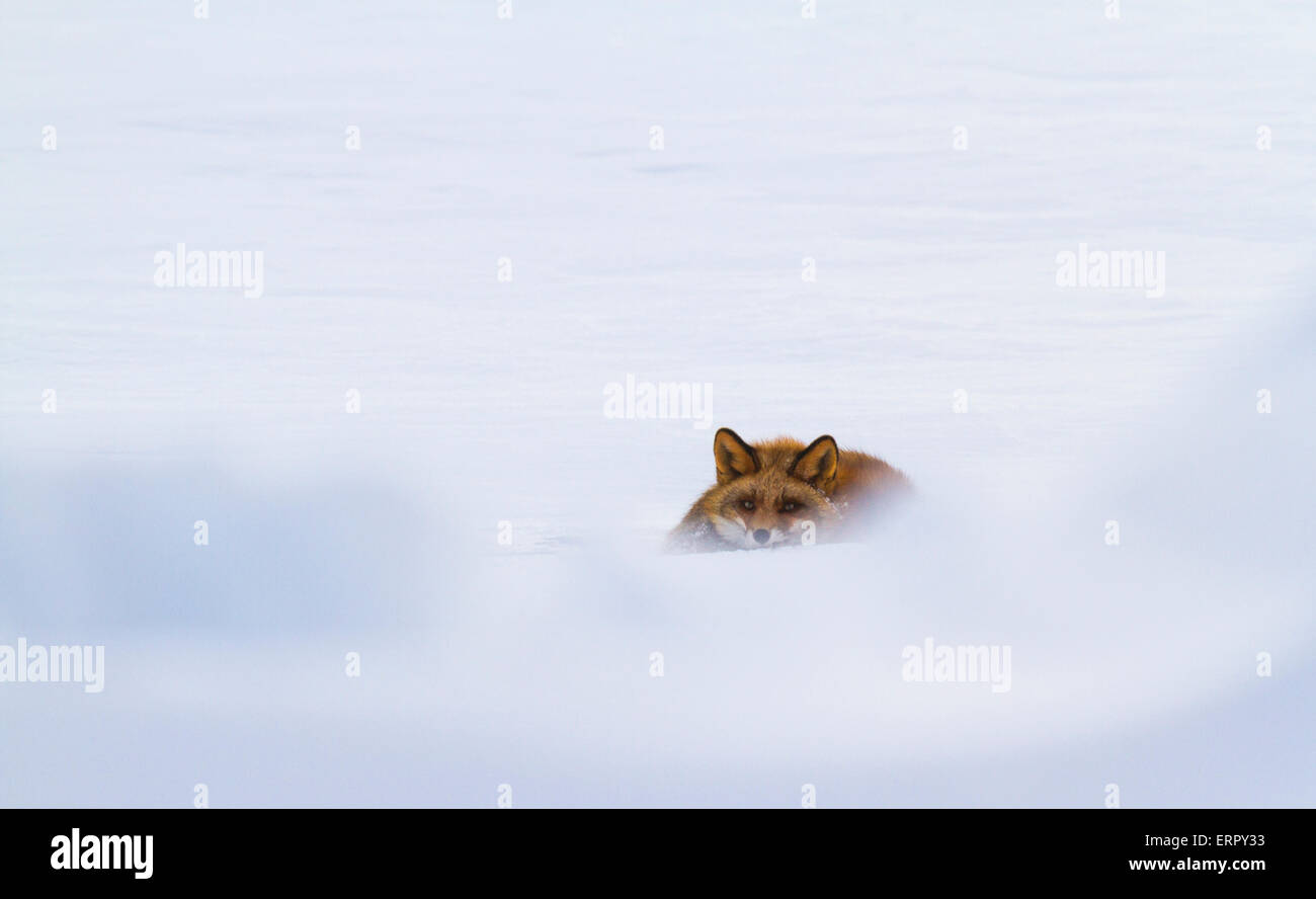 Red fox lying in snow and looking towards camera Stock Photo