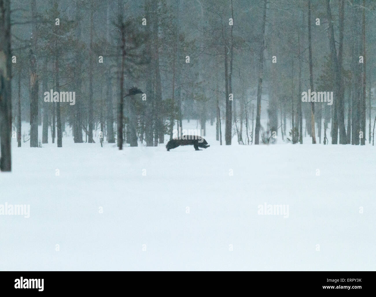 Wolverine, Gulo gulo, in winter landscape with snow falling in Kuhmo, Finland - Stock Image