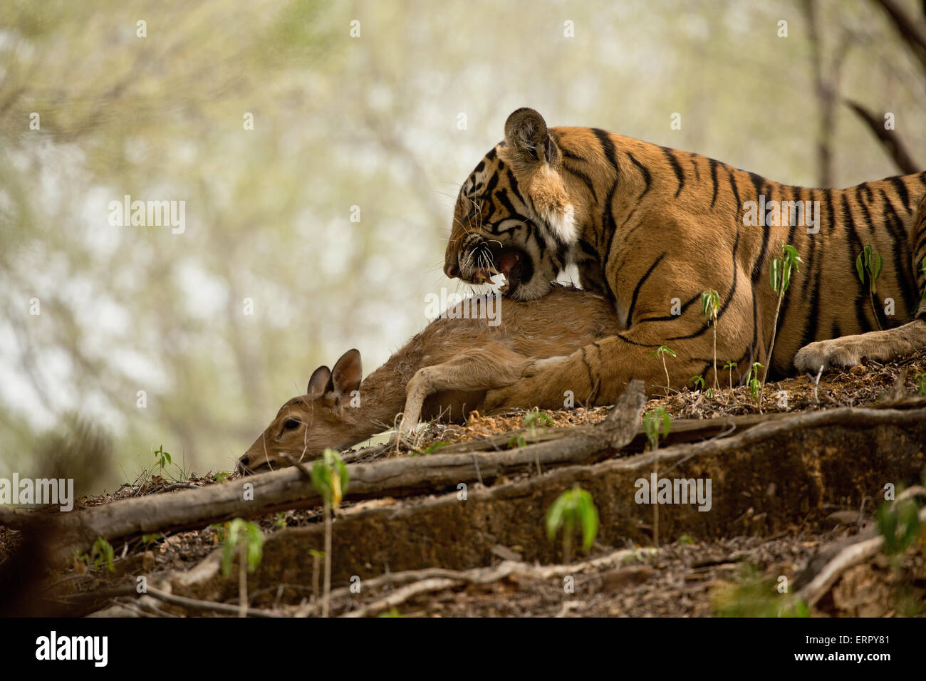 A tiger snarls after catching its prey - Stock Image