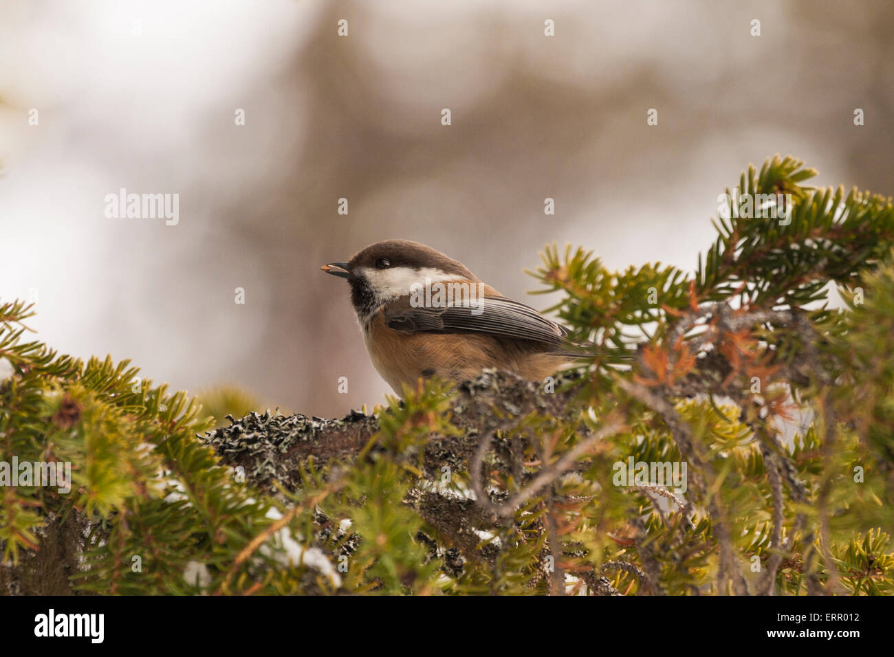 Portrait of Grey-headed Chickadee sitting in a spruce tree with a seed in his beak - Stock Image