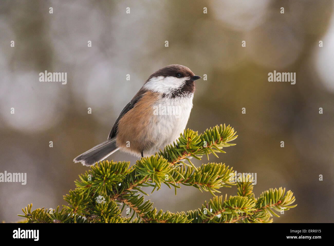 Portrait of Grey-headed Chickadee sitting in a spruce tree - Stock Image