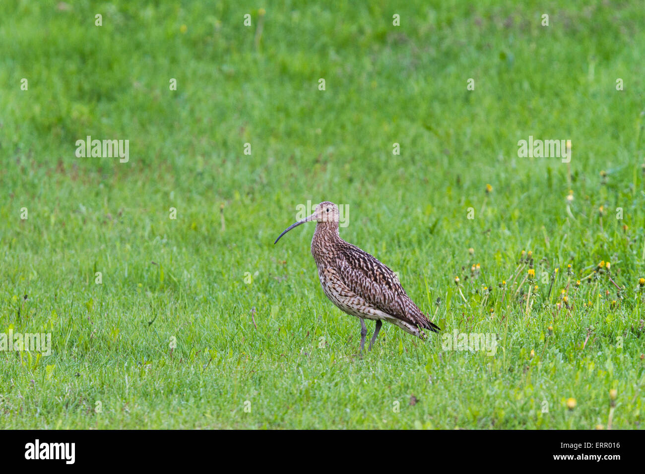 Eurasian curlew on a lawn in norrbotten, Sweden - Stock Image