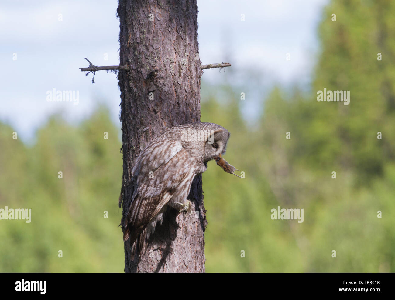 Great grey owl (strix nebulosa lapponica) with a fieldmouse in his beak sitting in a pine tree in Boden in Norrbotten, - Stock Image