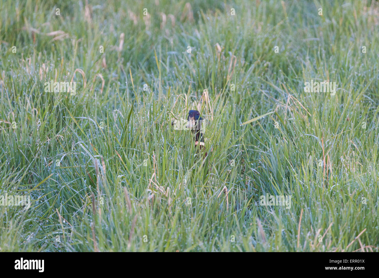 Male Mallard, Anas platyrhynchos, peeking in to camera in grass with dew drops - Stock Image