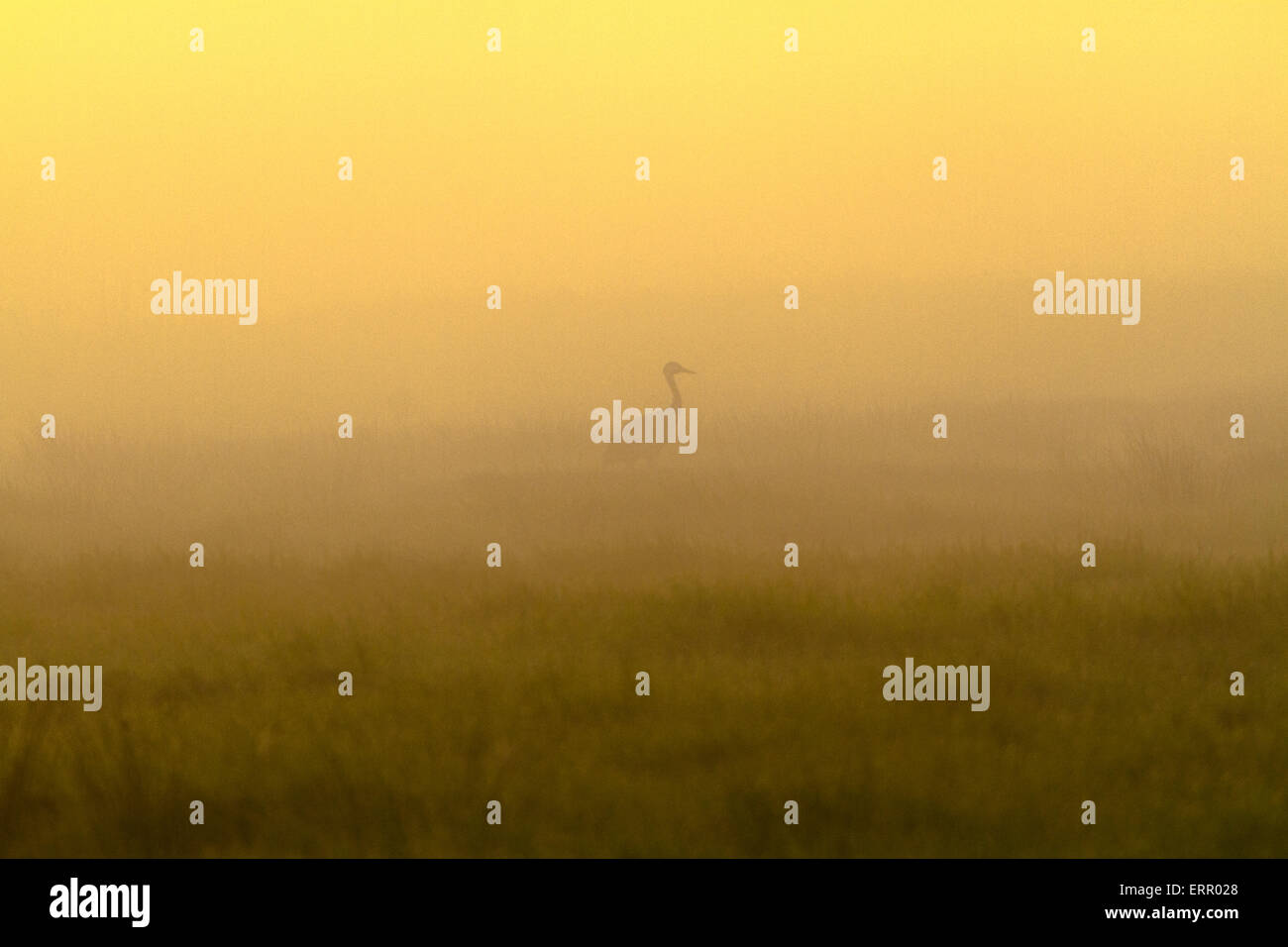 Common crane in silhouette in morning light with fog allaround and warm morning light, sweden Stock Photo