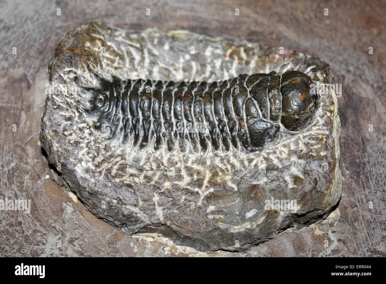 Trilobite Phacops sp. from the Atlas Mountains, Morocco - Stock Image