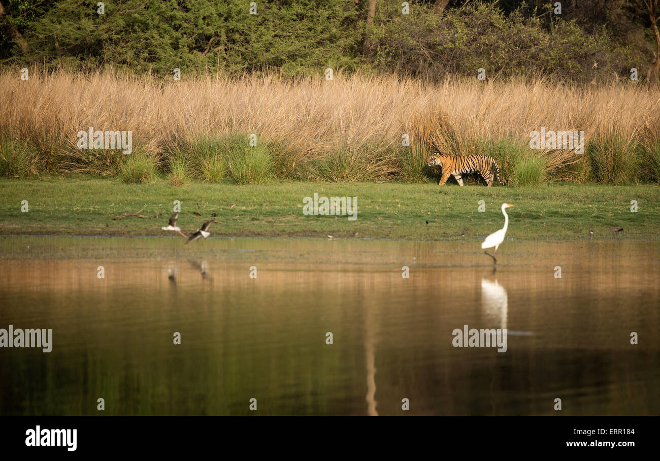 A tiger walks along side the lake on the grass Stock Photo