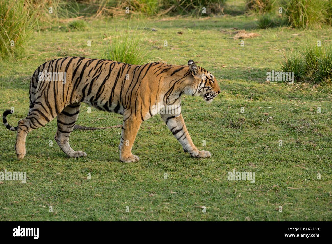 A tiger walks in lush green grass Stock Photo
