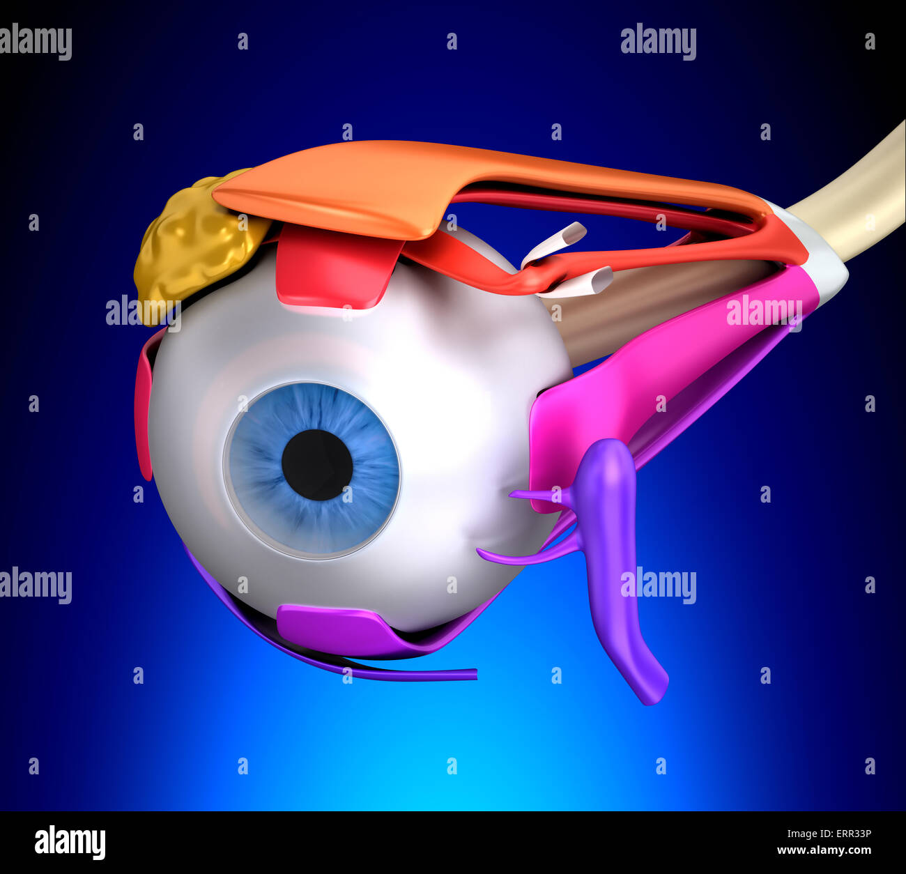 Eye Muscles Human Anatomy - Cross Section on blue background Stock ...