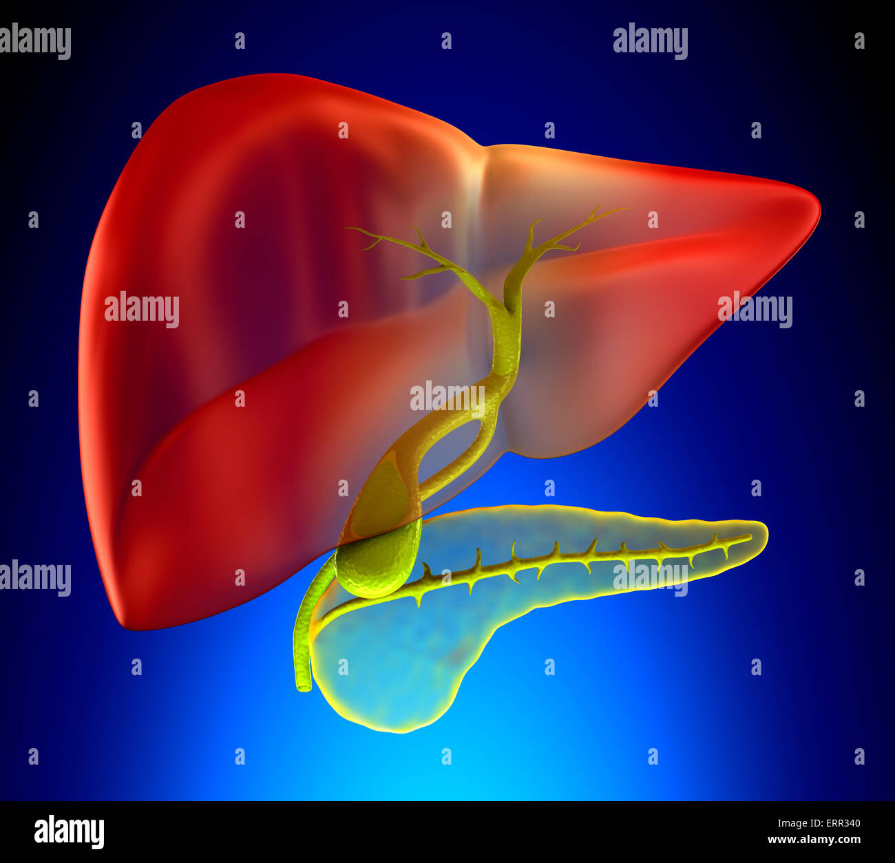 Gallbladder Cross Section Real Human Anatomy - on blue background - Stock Image
