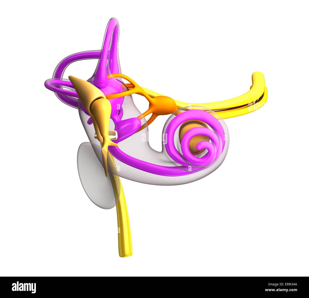 Inner Ear Anatomy Stock Photos & Inner Ear Anatomy Stock Images - Alamy