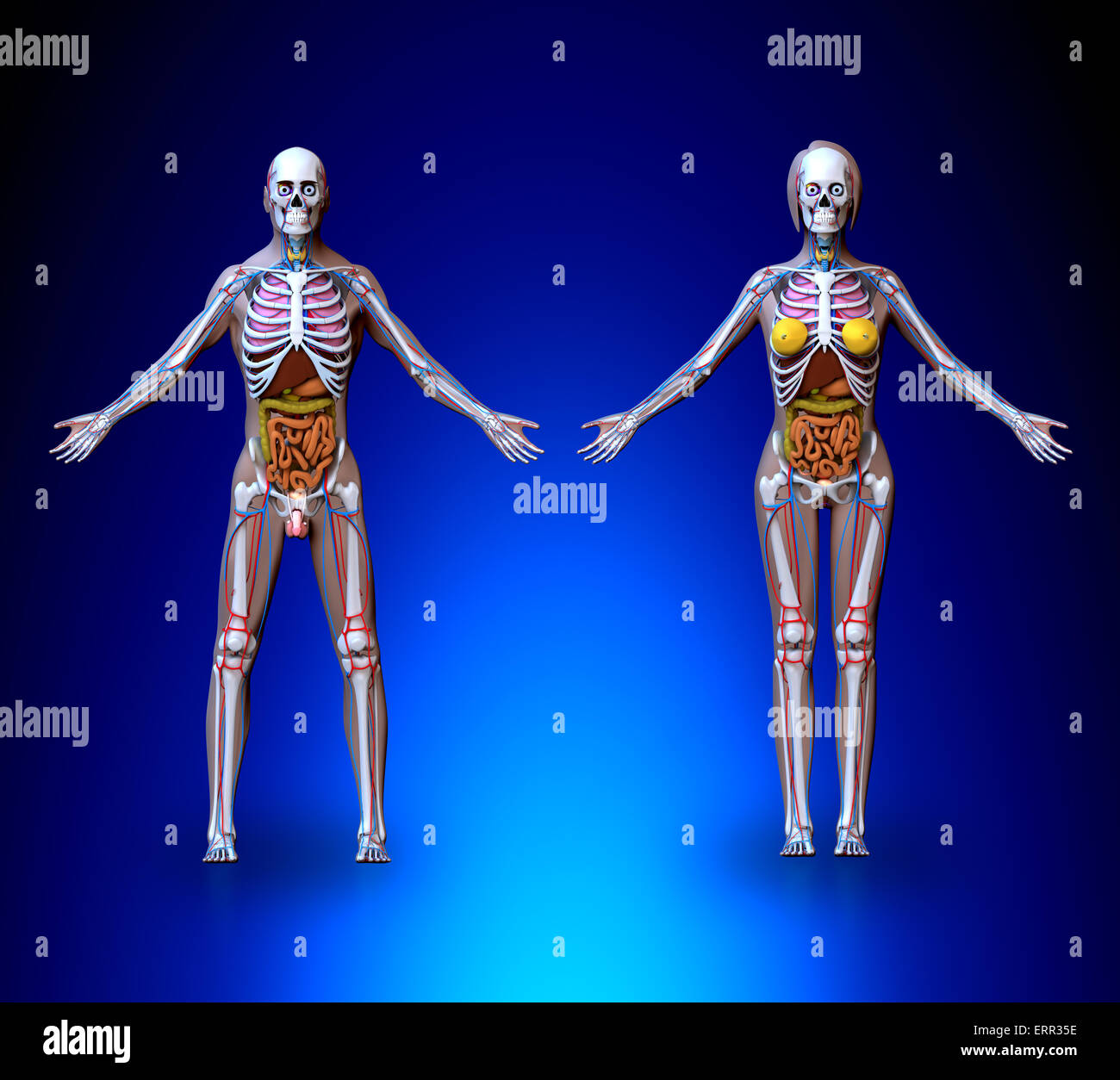 Science Anatomy Body Physiology Human Female Organs Stock Photos ...