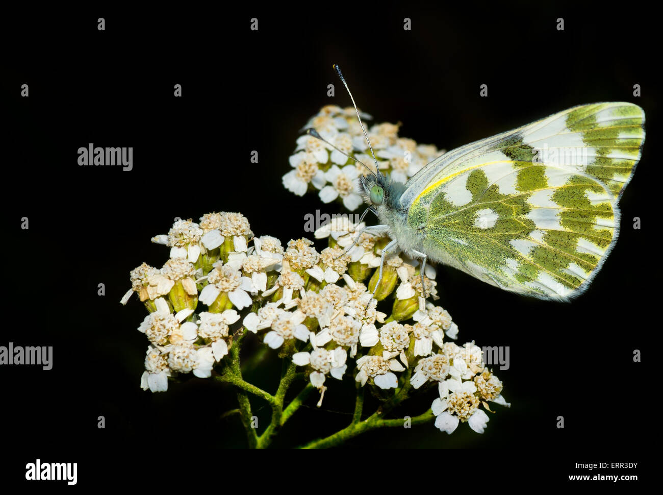 Beautiful butterfly on a wild flowers at night stock photo 83486199 beautiful butterfly on a wild flowers at night izmirmasajfo