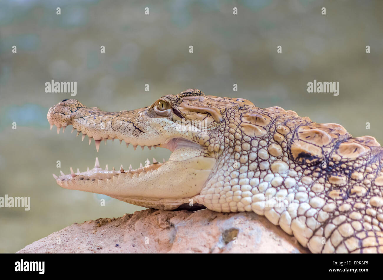 Close-up Of Young Alligator Alligator closeup on sand and rocks at zoo Stock Photo