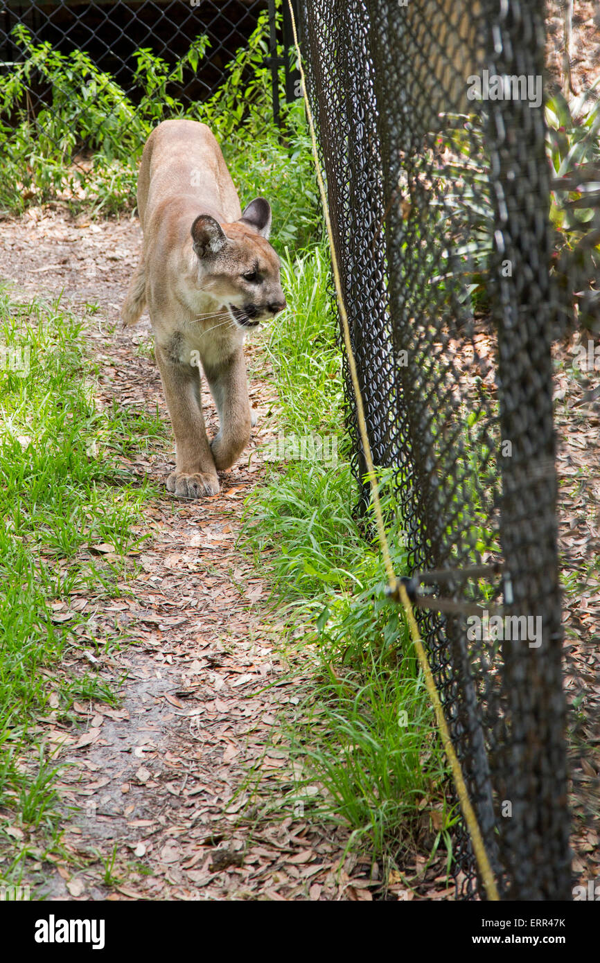 Homosassa Springs, Florida - A Florida panther paces its cage at Homosassa Springs Wildlife State Park. - Stock Image