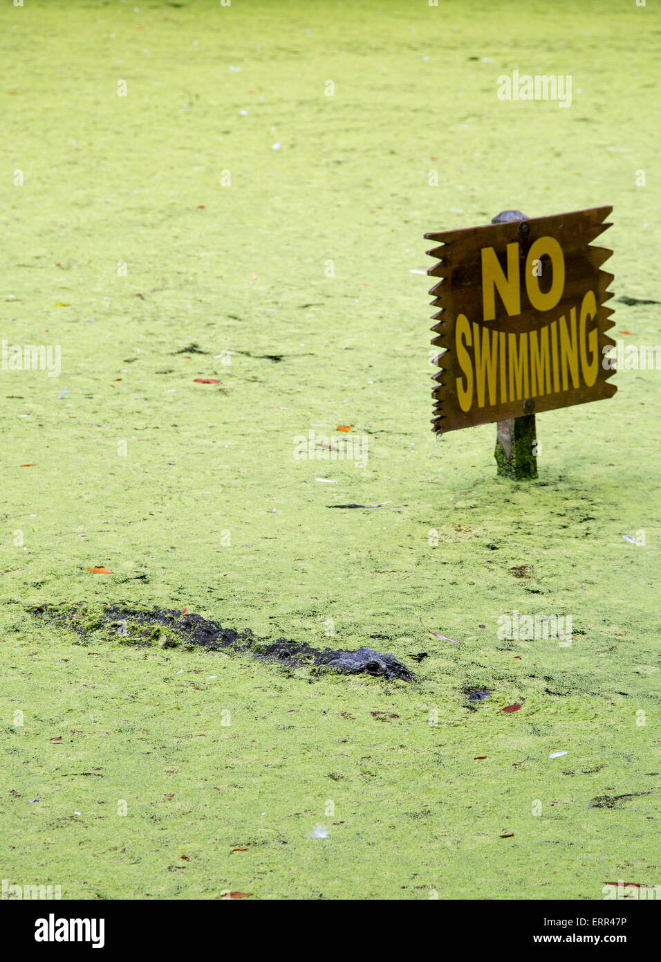 Homosassa Springs, Florida - An alligator in a lagoon next to a 'No Swimming' sign at Homosassa Springs - Stock Image