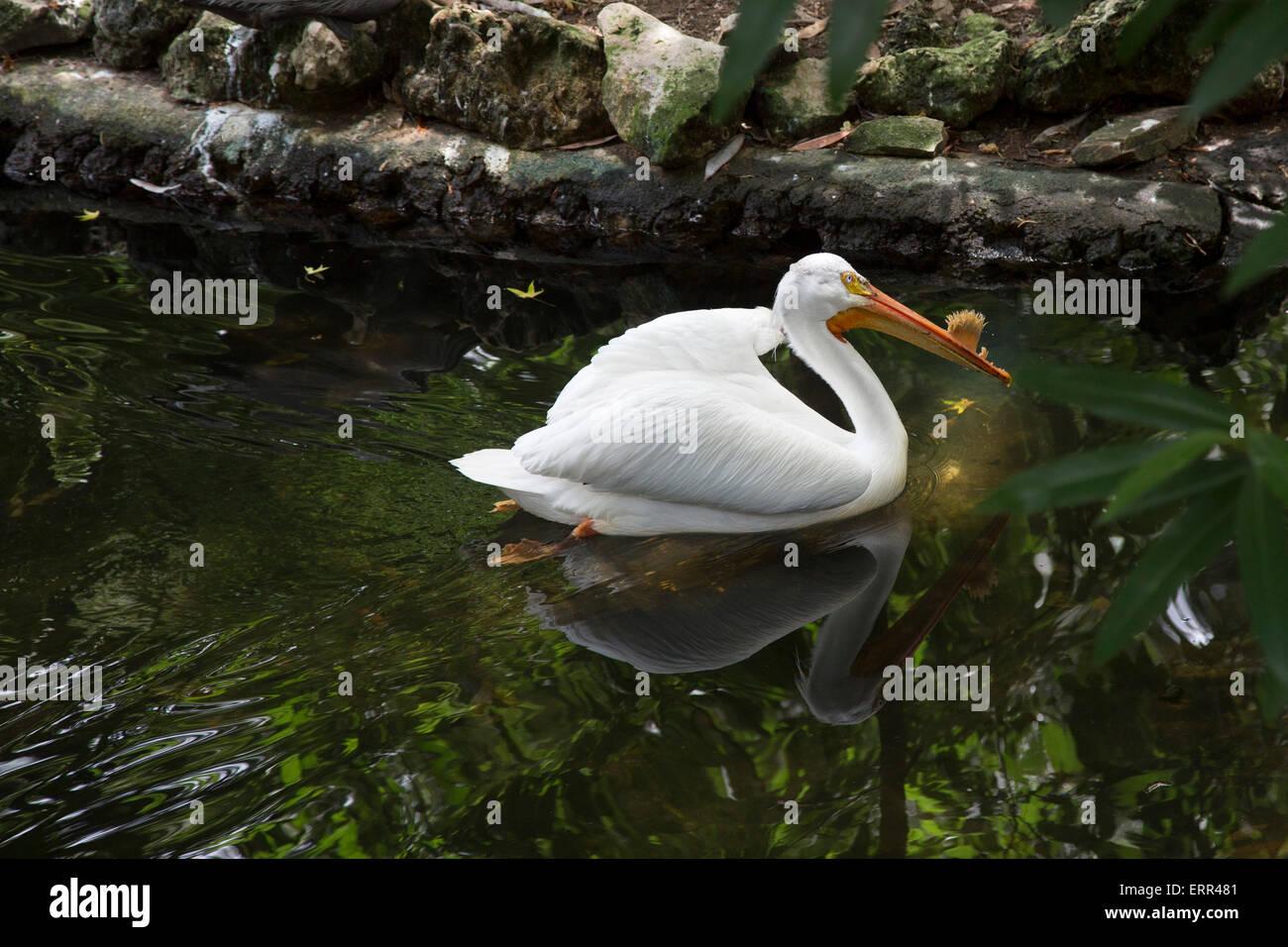Homosassa Springs, Florida - An American white pelican (Pelecanus erythrorhynchos) at Homosassa Springs Wildlife - Stock Image