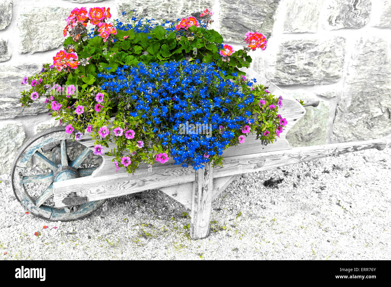 colored flowers on the wheelbarrow with stone wall background - Stock Image