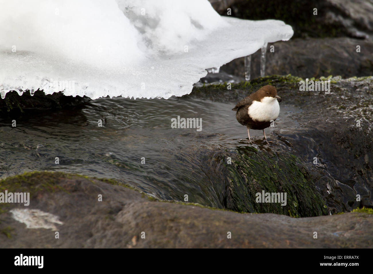 White-throated dipper - Stock Image