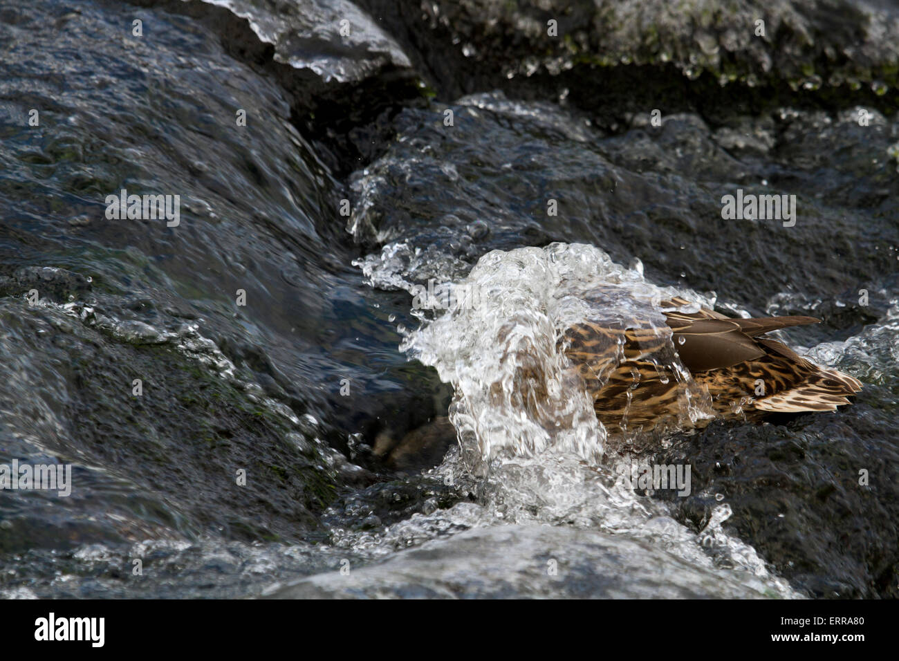 Diving mallard - Stock Image