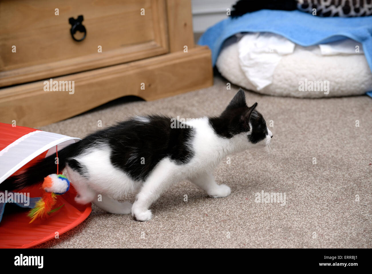 Playful black and white kitten with toys and a hideaway. Shallow depth of field ( Shallow DOF ) - Stock Image