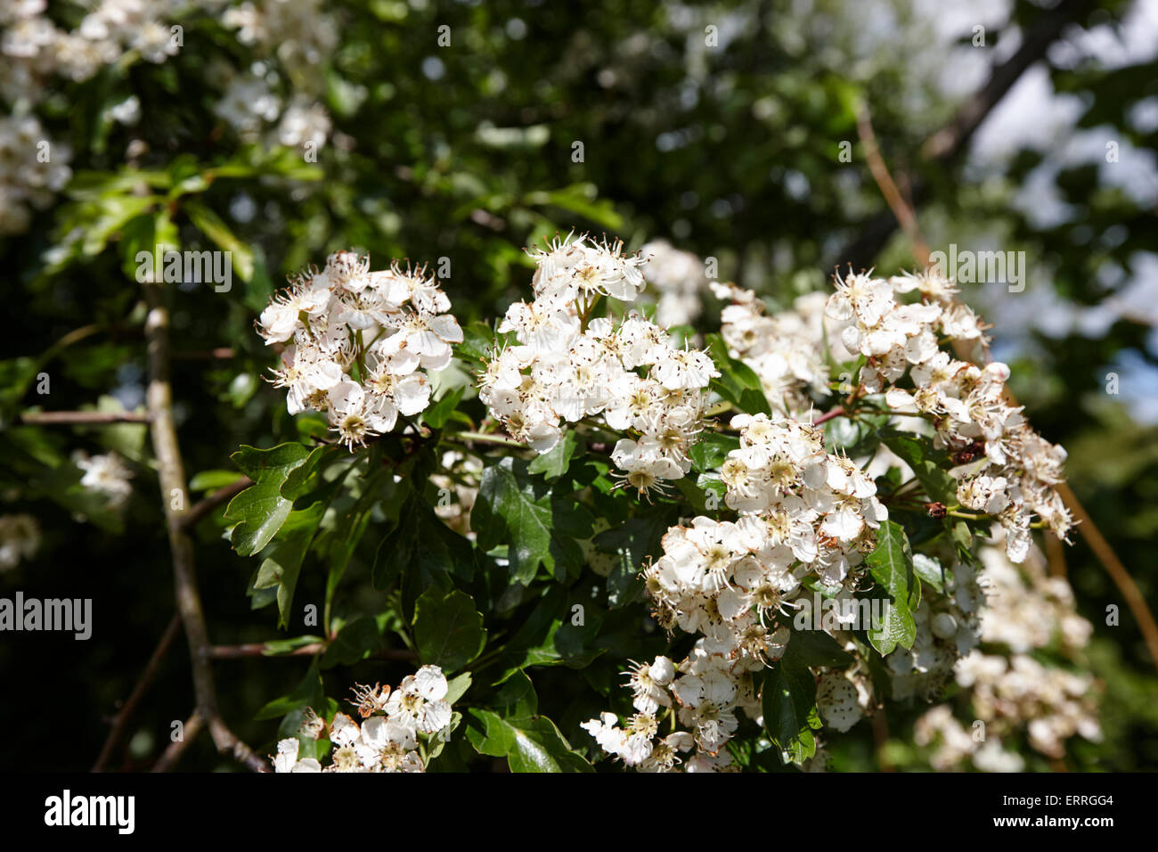 common hawthorn tree in flower in ireland - Stock Image
