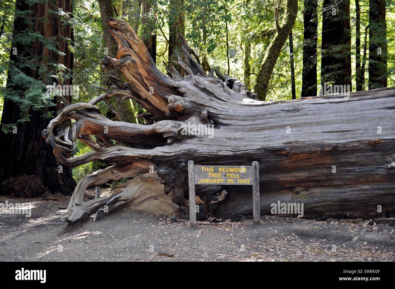 Fallen Coast Redwood tree, Big Basin Redwoods State Park, California - Stock Image