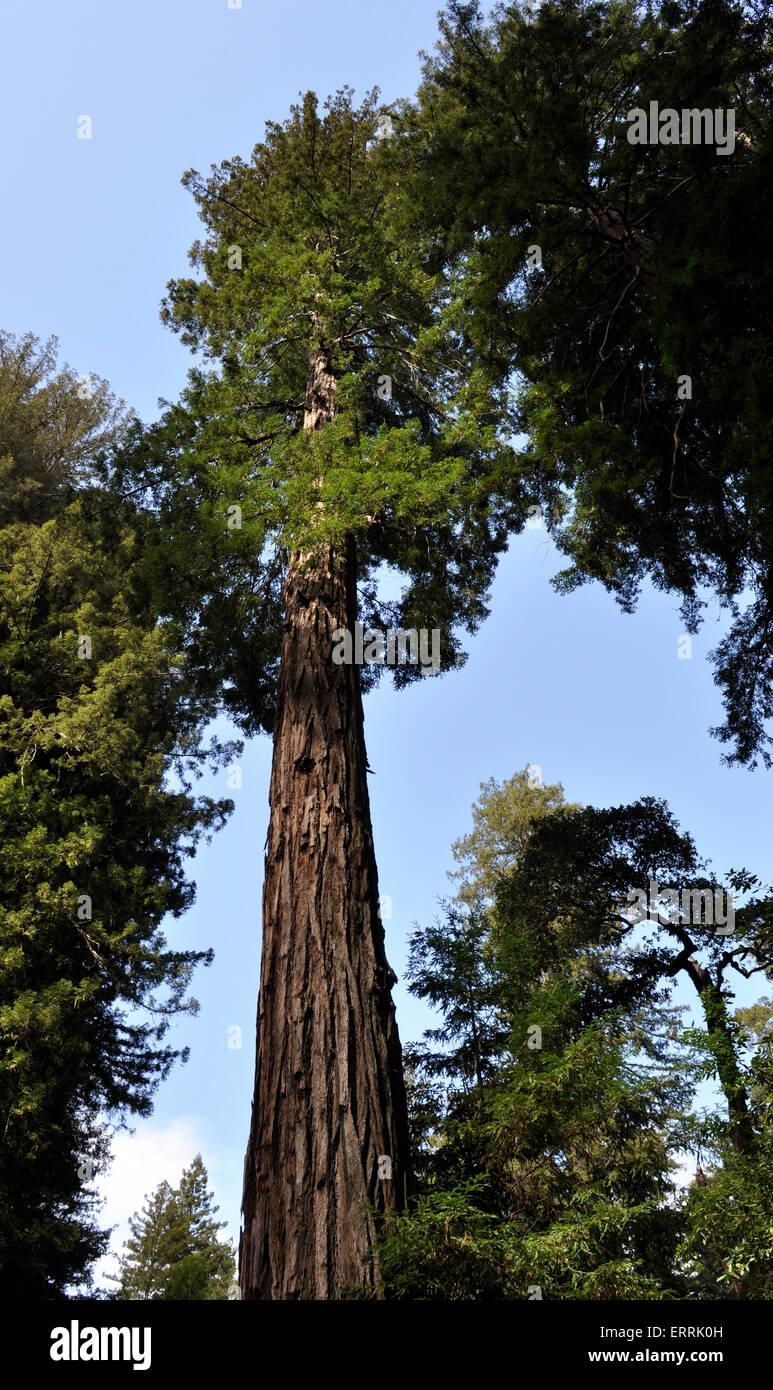 Big Basin Redwoods State Park, California - Stock Image