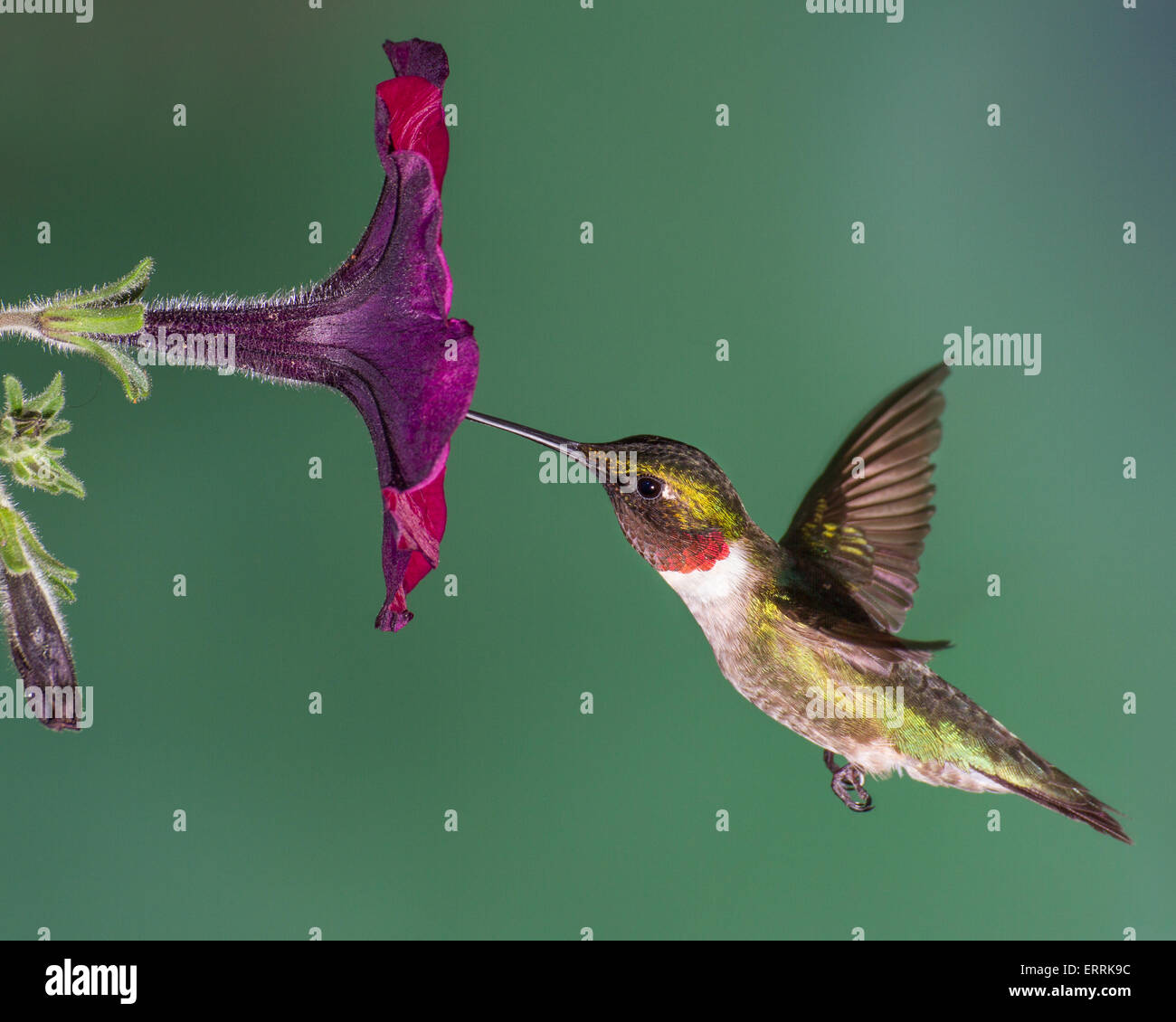 A ruby-throated hummingbird gathering nectar from a petunia. - Stock Image