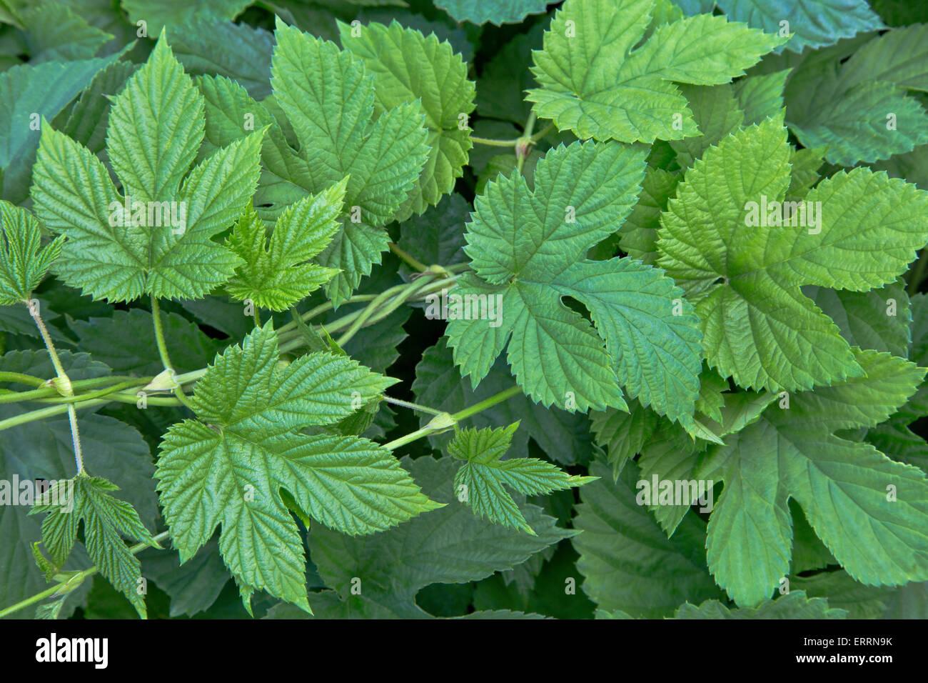 New hop leaves on vine 'Humulus lupulus'. - Stock Image