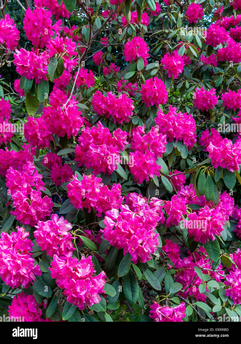 Garden flower close up of a large pink rhododendron bush stock photo garden flower close up of a large pink rhododendron bush mightylinksfo