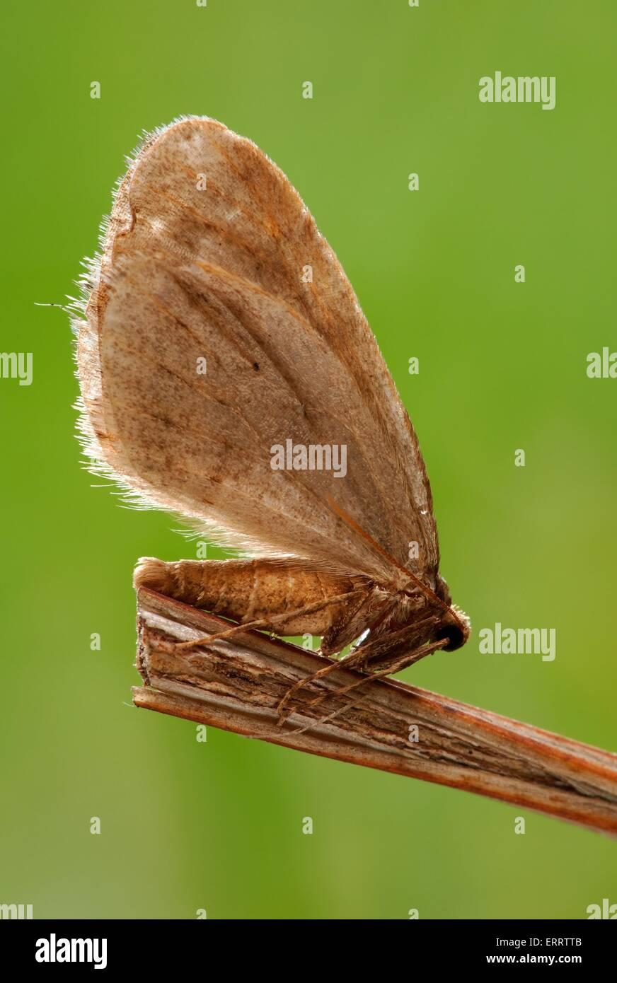 winter moth - Stock Image
