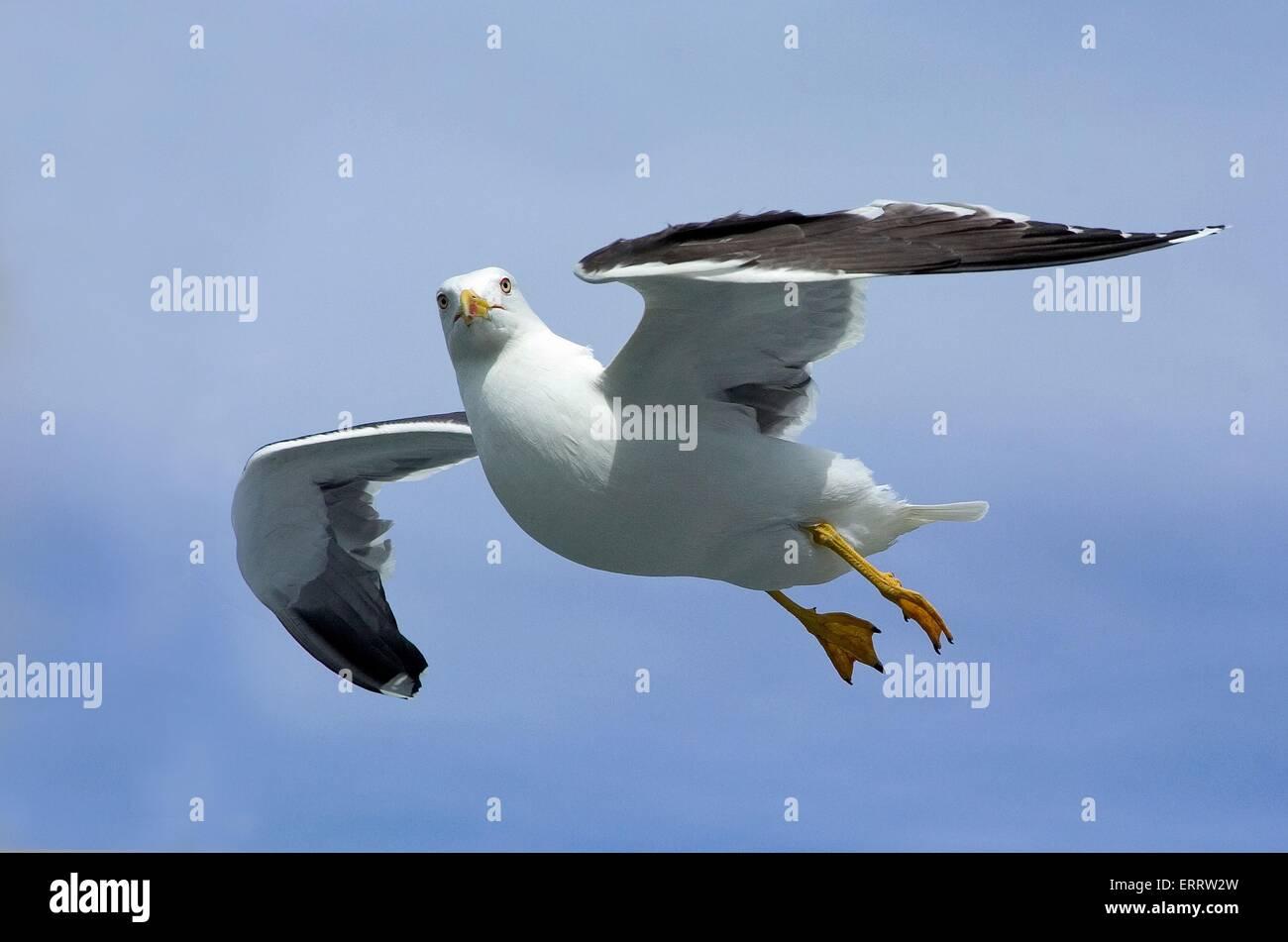 flying Lesser Black-backed Gull Stock Photo