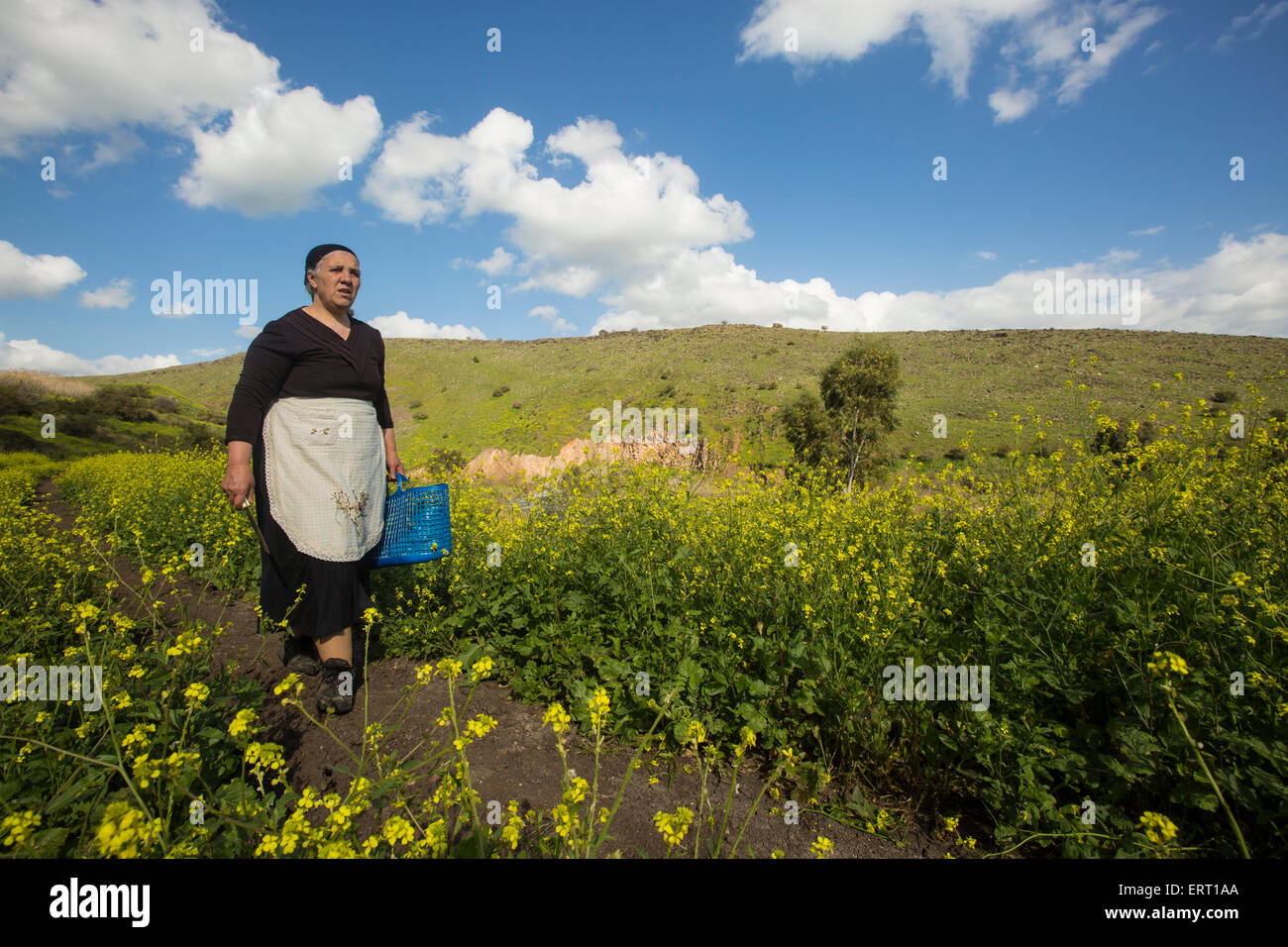 Local, Arab peasants collect herbs in the field - Stock Image