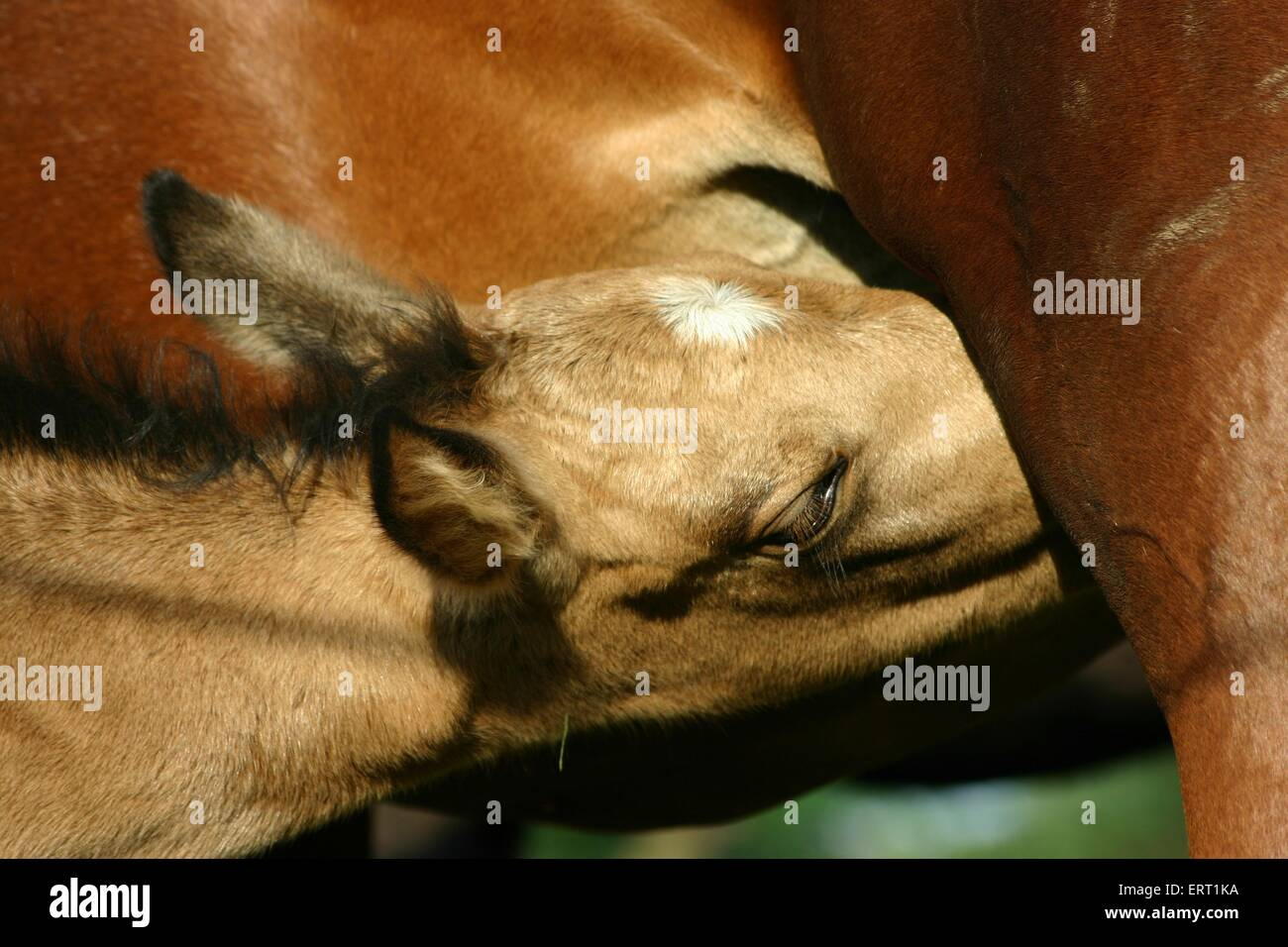 sucking foal - Stock Image